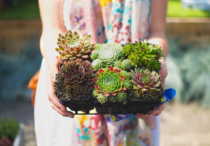 vetplantjes kopen, vetplant verzorgen, trend vetplanten, vetplanten water, verzorging vetplanten, zon vetplanten, vetplanten dood