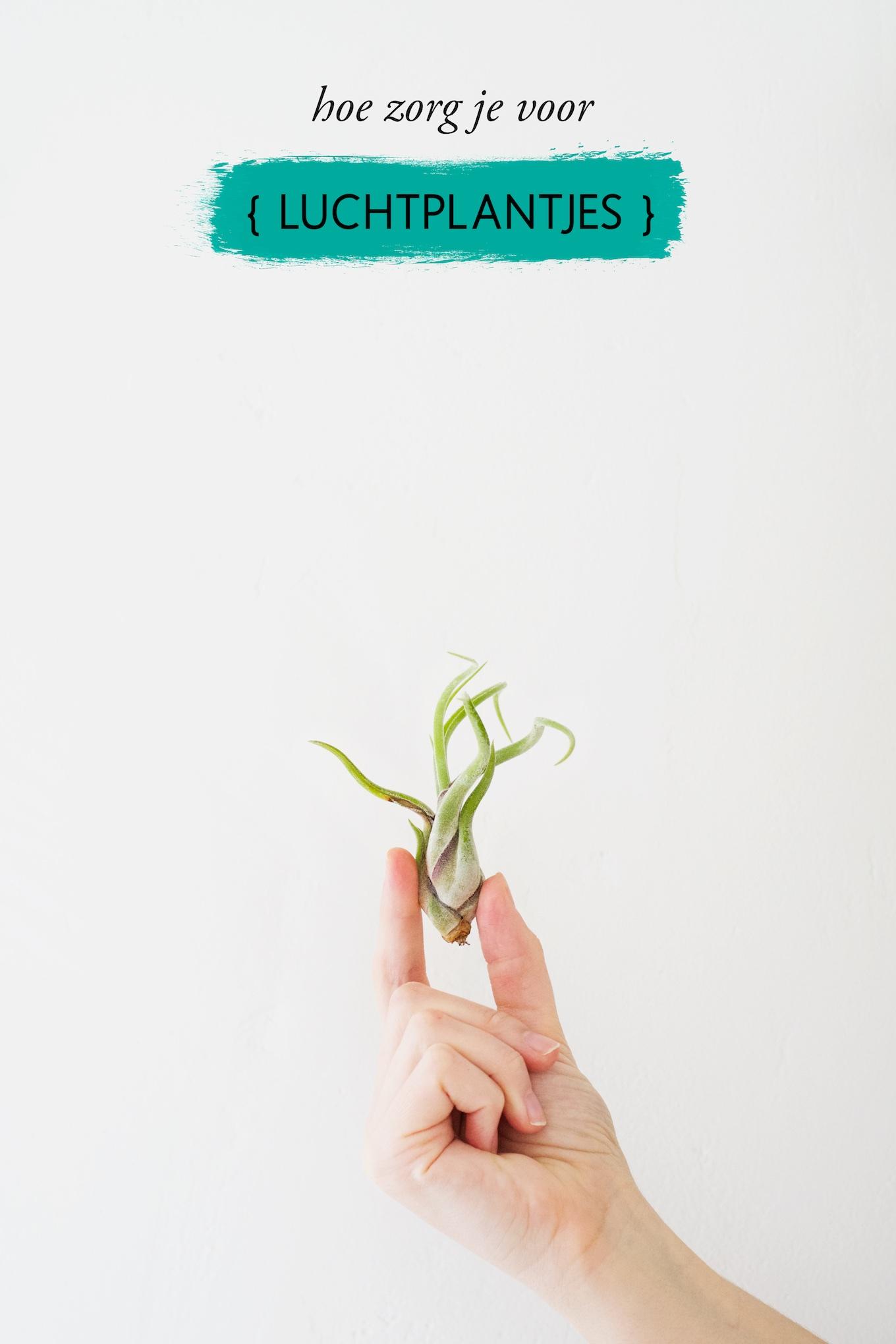 hoe zorg je voor luchtplantjes, luchtplantjes kopen